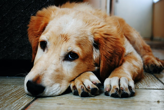 bien-être vieux chien : essayer la spiruline